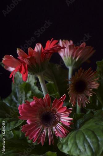 Photo Beautiful red gerbera daisy flower  -  Barberton daisy, Transvaal daisy, Gerbera