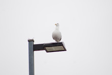 Seagull On Lamp Post