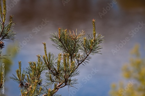 Obraz na plátně branch of pine with needles and inflorescences in spring sun, dark natural river