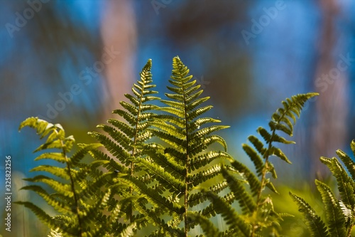 Fotografie, Obraz light green, young and healthy fronds of fern grow in spring sun, colourful natu