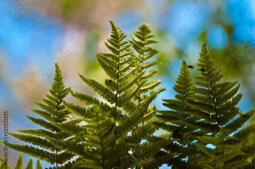 Obraz na plátně light green, young and healthy fronds of fern on colourful natural forest and sk