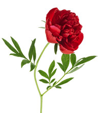 Beautiful Red Peony Flower Iso...