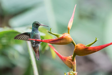 A Rofous-tailed Hummingbird On A Banana Flower In Costa Rica.