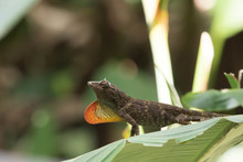 A Anole Lizard On A Leaf In Co...