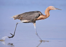 Side View Of Reddish Egret Running In Water