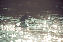 Loon Swimming On Lake With Sun Reflecting Off Water.