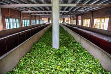 Ceylon Tea Leaves On A Drying ...
