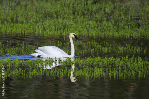 Photo Trumpeter swan in Yellowstone National Park, Wyoming
