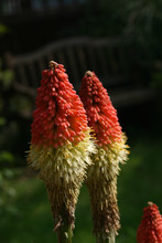 Kniphofia The Red Hot Poker Pl...