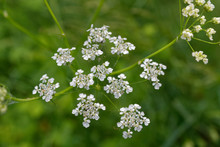 Cow Parsley (Anthriscus Sylves...