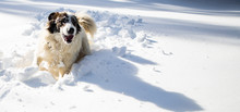 Happy Dog Playing In Fresh Snow