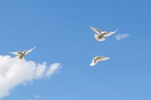 Wild White Doves Flying In Blue Sky.