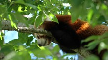 Red Panda Ailurus Fulgens Rest...
