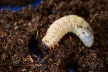 Beetle Larva In Wet Sawdust