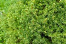 Picea Glauca Conica White Spruce Green Tree
