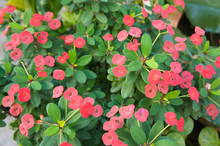 Euphorbia Milii Or Crown Of Th...