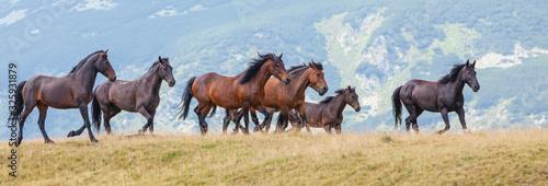Fototapeta Wild horses roaming free in the mountains, under warm evening light