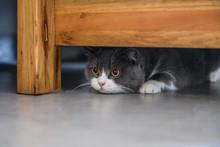 British Shorthair Cat Hiding U...