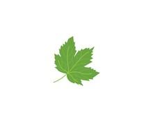 Maple Leaf Vector Illustration...