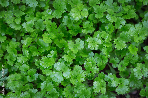 Fototapeta Coriander plant in vegetables garden for health, food and agriculture concept design. obraz