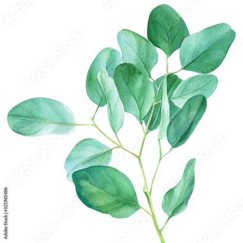 Fototapeta Eucalyptus branches and leaves, watercolor illustration, green leaves on an isolated white background obraz na płótnie