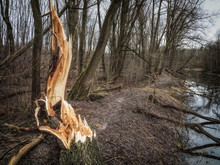 A Broken Tree In The Forest. C...