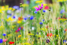 Plant A Native Habitat For Insects, Wildflower Meadow With Wild Flowers And Herbs