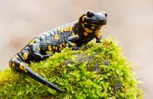 Fire Salamander Resting In A F...