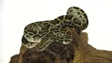 Granit Burmese Python Or Pytho...