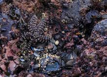 Starfish Or Sea Star In A Tide...