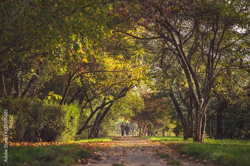 Fototapeta Jesienny spacer pary staruszków pośród drzew obraz