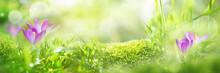 Spring Crocuses In A Meadow