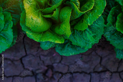 Photo Lettuce sprouts in the field