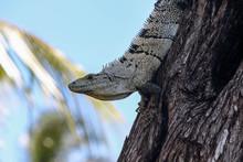 Big Lizzard On Tree In Costa Rica, Central America