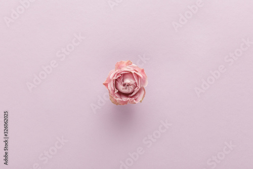 Obraz top view of blooming pink rose on violet background - fototapety do salonu