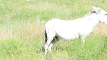 Wild Donkeys And Asses In Sout...