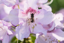 Close-up Beautiful Blooming Azalea Rhododendron Bush With Lilac Purple Blossom An A Honey Bee