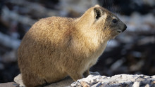 Close Up From A Rock Hyrax