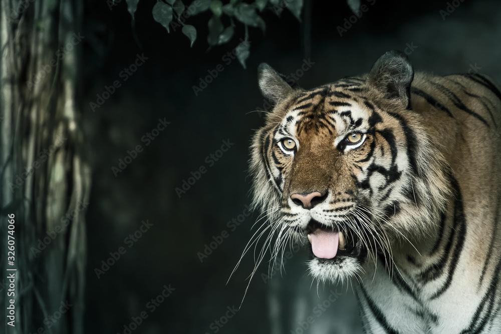 Fototapeta Close-Up tiger.