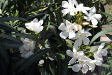 A Close-up Of White Oleander F...