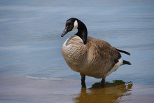 Goose Standing In Shallow Water