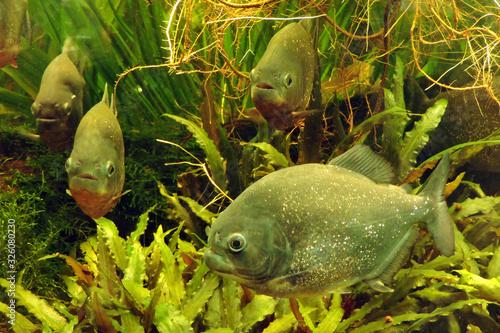 Fototapeta A school of piraya piranhas swimming in a tank, green plants in the background