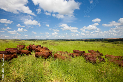 gado da raça Bonsmara em pasto aberto Fototapet