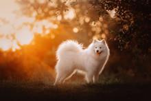 Happy Samoyed Dog Posing Outdo...