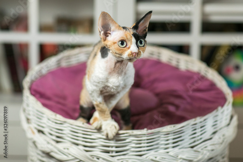 Fotomural Beautiful devon rex cat is sitting on the scratching post