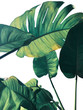 canvas print picture - Abstract tropical green leaves pattern on white background, lush foliage of giant golden pothos or Devil's ivy (Epipremnum aureum) the tropic plant..