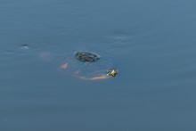 Turtle Swimming Just Under Wat...