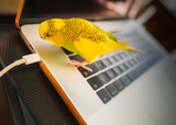 Fototapeta Zwierzęta - Budgerigar parakeet standing on a key board of a laptop computer looking at the power cable with curisoity