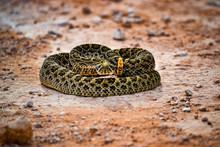 Striking Rattle Snake Pose