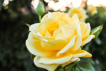 Yellow Rose With Water Drops O...